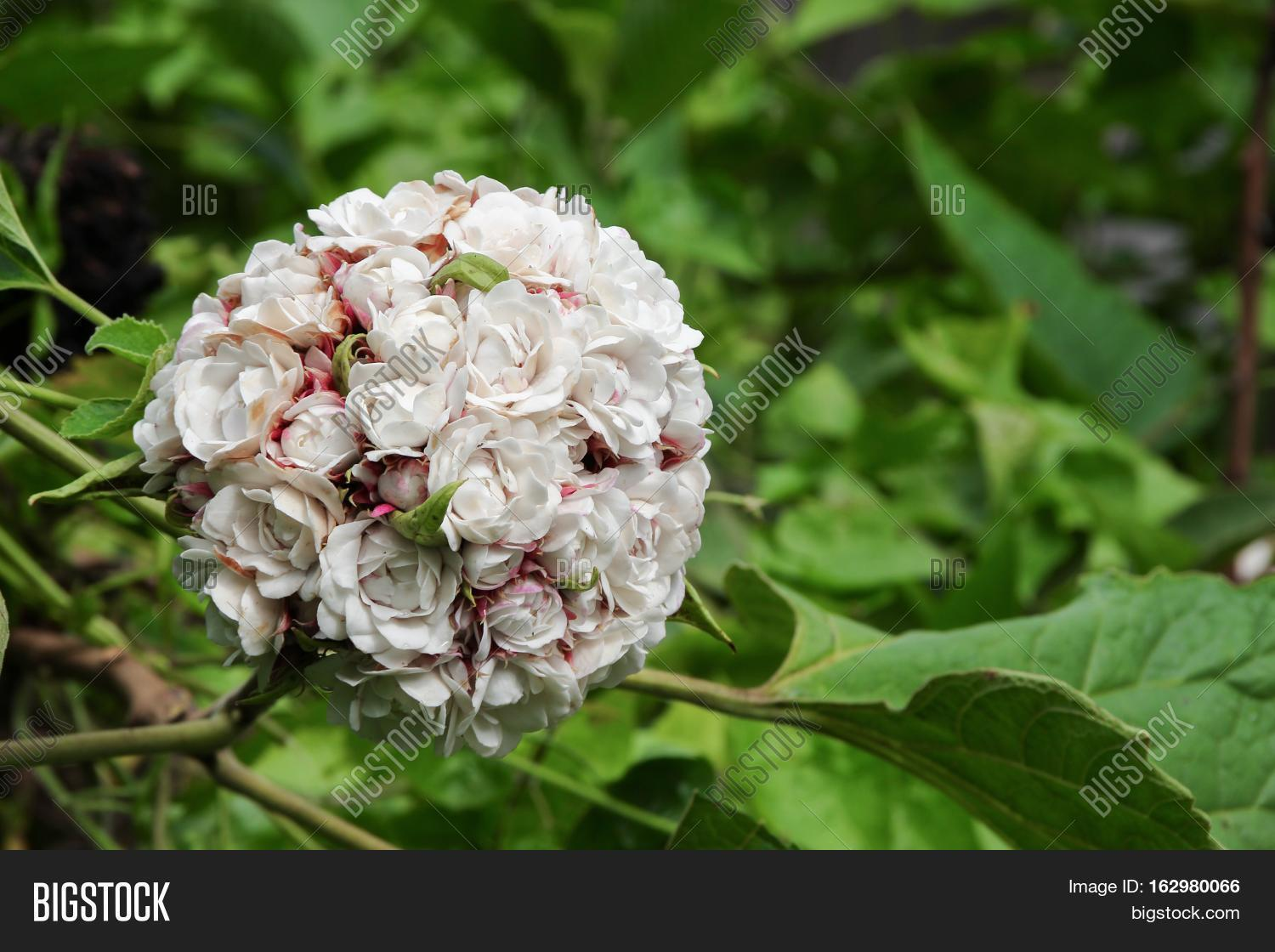 White Flower Ball Image Photo Free Trial Bigstock