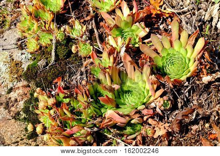 Beautiful succulent plants growing on ground