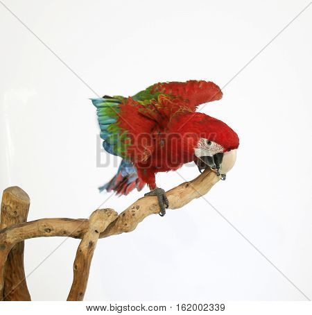 Colorful parrot landed on branch isolated on white Red-and-green macaw