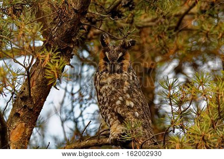 A Long-eared Owl perches in an evergreen tree. This bird is a winter visitor to Iowa.