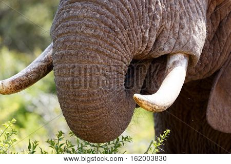 Elephant Trunk And Tusk Close Up