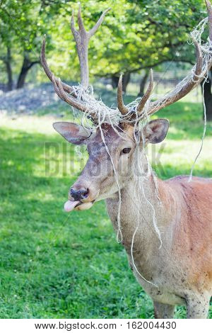 Great horned deer showing tongue in the daytime