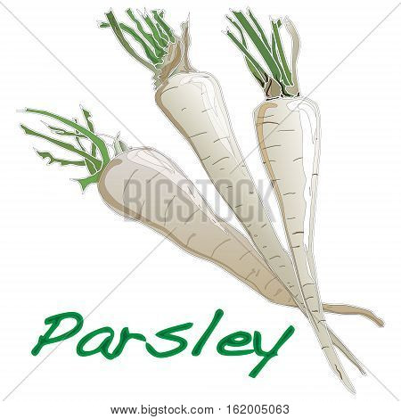 Fresh parsley with root on white background