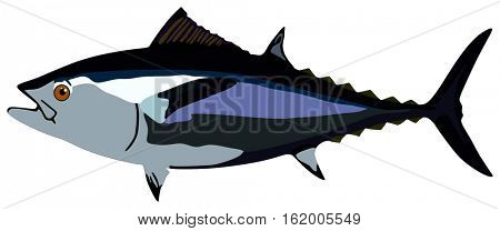 Tuna Fish lives is ocean and under deep blue water life one of top sea predators