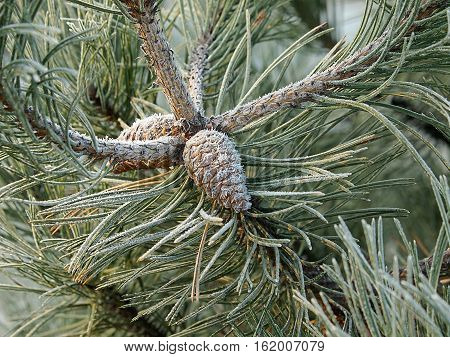 Frosted pine needles and pine cone in the forest on the outskirts of Lodz.
