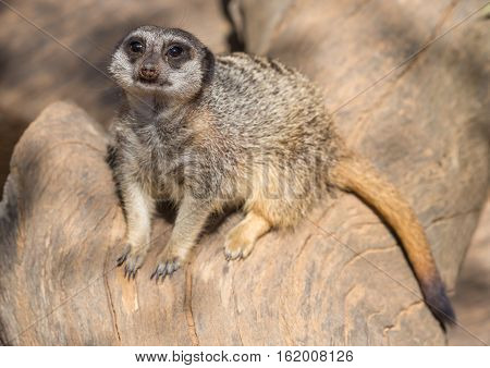 Cute meerkat or suricate sunning itself on a tree stump