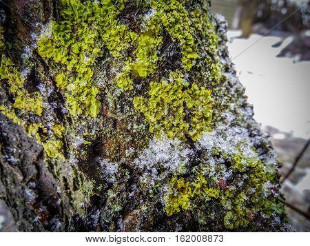 moss on the tree fell asleep snow white winter