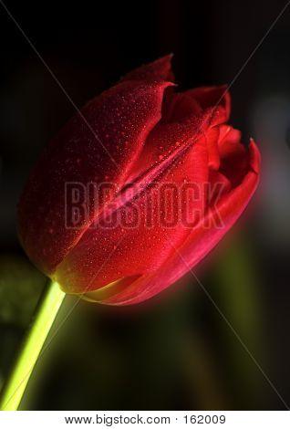 Red Tulip Macro 8 Bit
