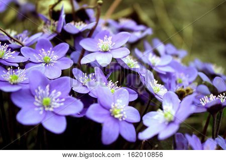 Hepatica nobilis - blooming flowers in early spring blurred background.