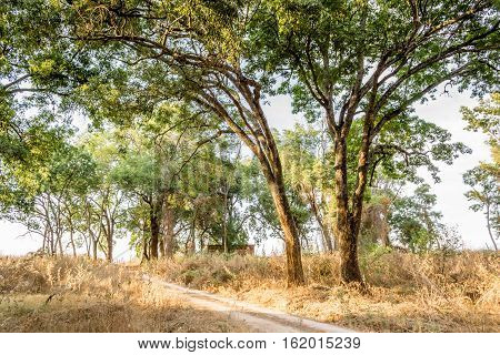 Horizontal photo in color of many tress beside a dirtroad in a sunny day