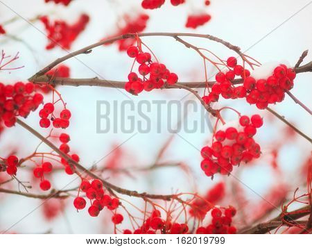Background with bright red berries of mountain ash under snow