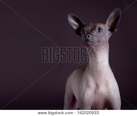 Mexican hairless dog portrait in the studio