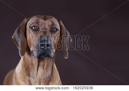 Brown rhodesian ridgeback portrait in the studio