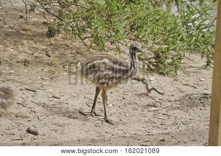 the emu chick is walking in a park
