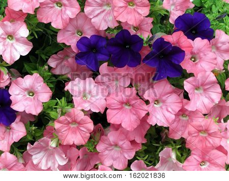vibrant dark purple mixed with pink petunias in a garden bed