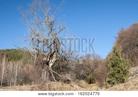 Old defoliated dry tree on meadow in clear sunny winter day