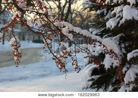 Sun starting to set with fresh snow on trees and crab apples in winter