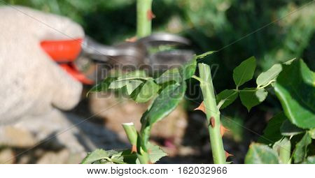 Spring pruning roses in the gardenfocus on a twig