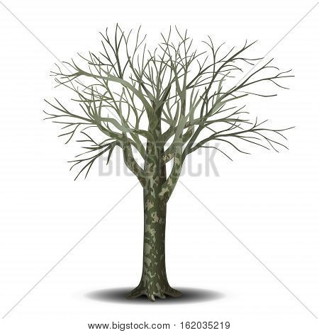 detached tree sycamore without leaves on a white background
