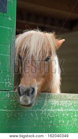 Shetland pony (Equus przewalski caballus) in a stall
