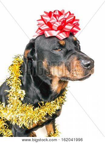 Festive dog in party tinsel and bow isolated on white background