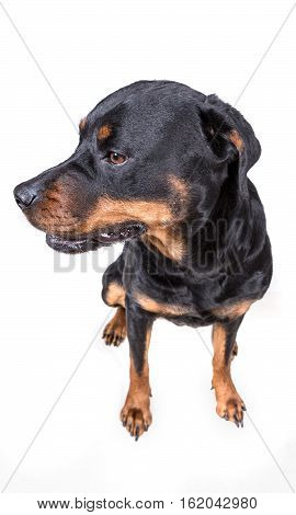 Unsure Questioning Dog Isolated On White Background