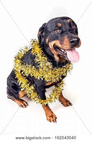 Festive Dog In Party Tinsel Isolated On White Background