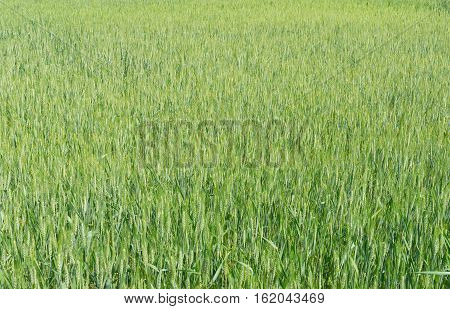 Natural background - unripe crops close-up in May