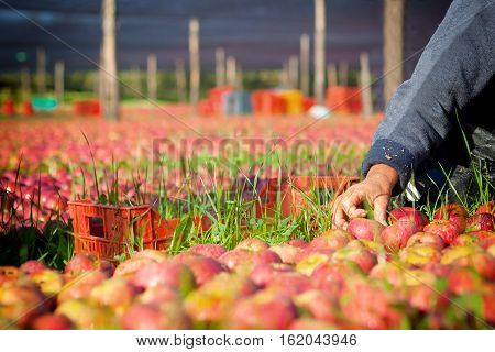 Worker Picking Apples