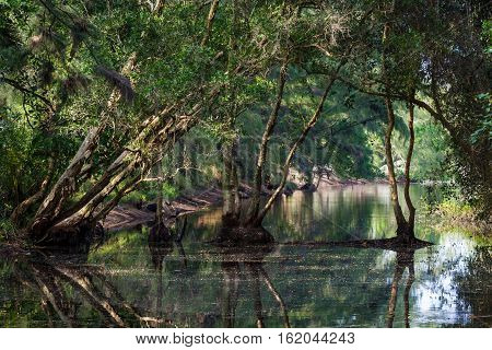 Swamp in tropical rainforest. Trees reflection. Old lake.