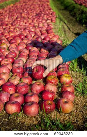 Worker picking italian apples from the ground