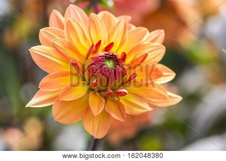 Orange flower chrysanthemum purple red and yellow colors in details with nice soft bokeh background in green and blue. Macro close up floral nature fresh warm concept for autumn coming.