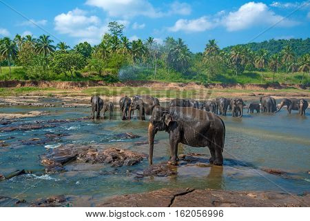 Elephants pack bathing in the river. National park. Pinnawala Elephant Orphanage. Sri Lanka.