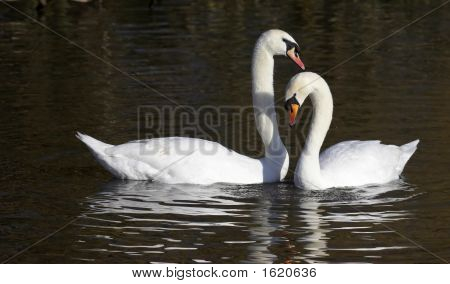 This pair of elegant Mute Swans were photographed at Slimbridge WWT in the UK. poster