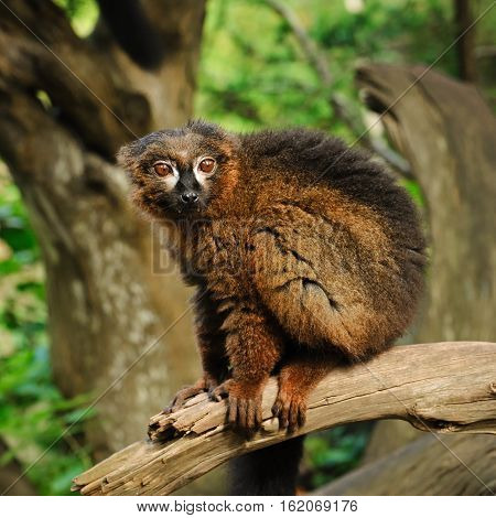 Portrait of adult male red-bellied lemur siting on the tree