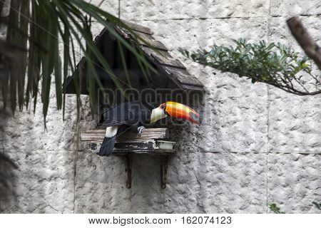 TOKYO, JAPAN - OCTOBER 12, 2016: Toucan at Ueno zoo in Tokyo Japan. It is Japan oldest zoo opened on March 20 1882