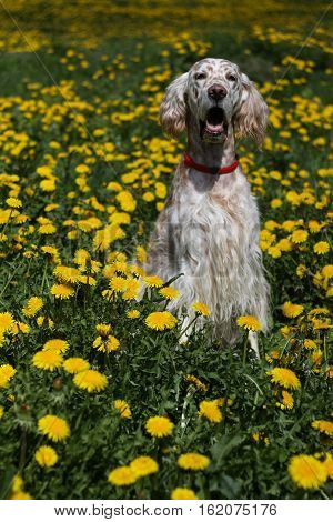 Pure breed spotty dog sitting in the spring field full of yellow dandelions