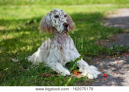 Pure breed spotty white and orange dog of hunting breed laying on the green grass with rowan berries in his paws