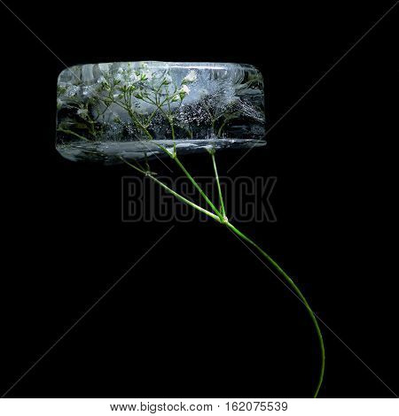The Gypsophila with a green leg in ice cube on a black background
