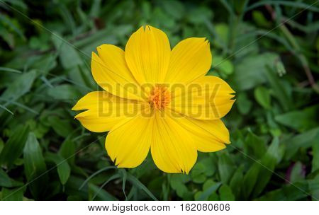 A yellow flower with a green grass background.
