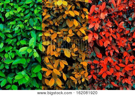 Green leaves background Chang color to autumn time.