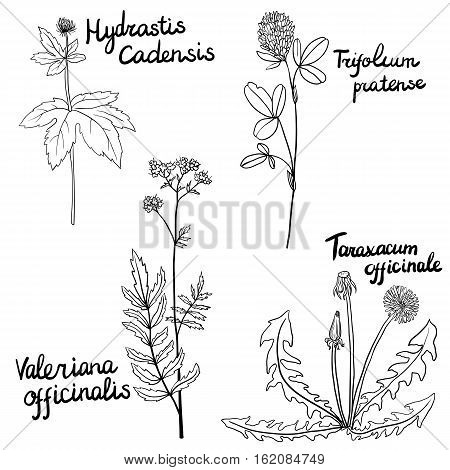 vector set of hand drawn medical herbs, Clover and valerian flowers, dandelion plant and goldenseal, isolated floral elements