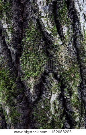 Birch backgroung theme: tree bark with libes and green moss