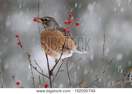 An american robin (Turdus migratorius) feeding on berries in a winter snowstorm.