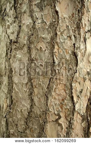 Scots pine tree bark as a background and screensaver