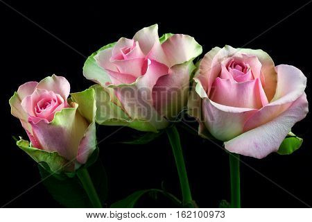 Close-up of pastel rose flower. Photography of nature.