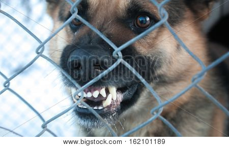 Large angry dog behind a fence and guarded by growling