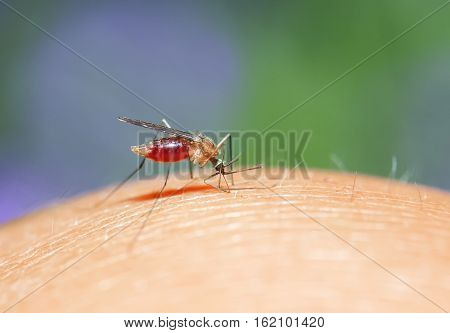 mosquito plunged its proboscis into the skin and drinks the blood of the person