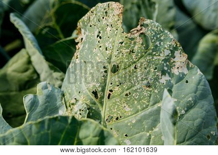 rotten cabbage from insect bite green yellow cauliflower vegetable