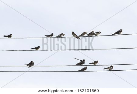 many birds swallows sitting on wires in the sky